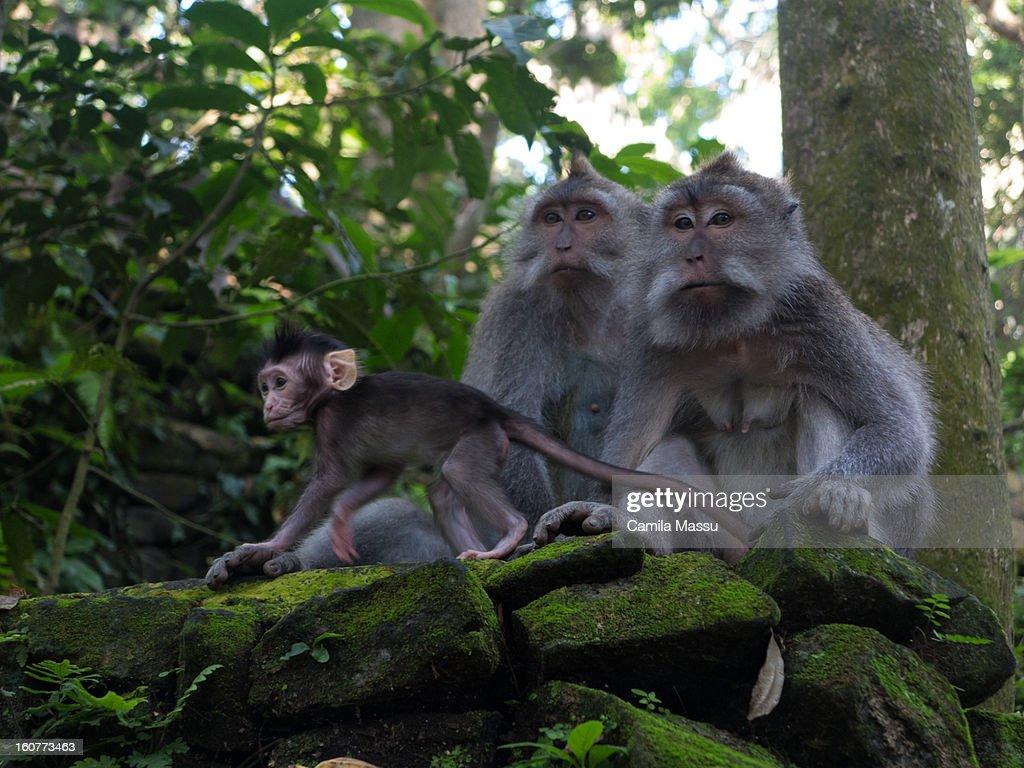 monkey family : Stock Photo