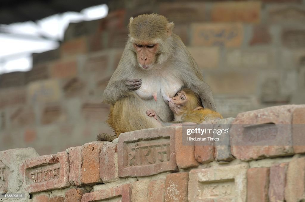A monkey feeds its baby at a workshop where preparations for constructing Ram Mandir going even though the case of the disputed land is in the Supreme Court on August 28, 2013 in Ayodhya, India. Three days after Vishwa Hindu Parishad (VHP) field Parikarma attempt, Ayodhya saw a heavy presence of security personnel amid Janmashtmi celebrations.