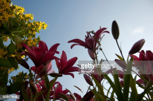 monkey flower and lily : Stock Photo