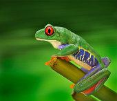 Monkey Frog-Agallychnis callidryas