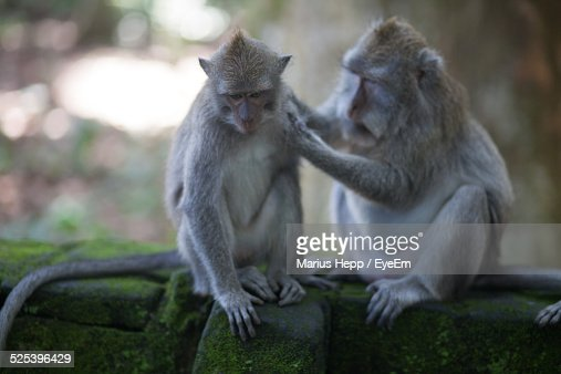Monkey Getting Loused By Another
