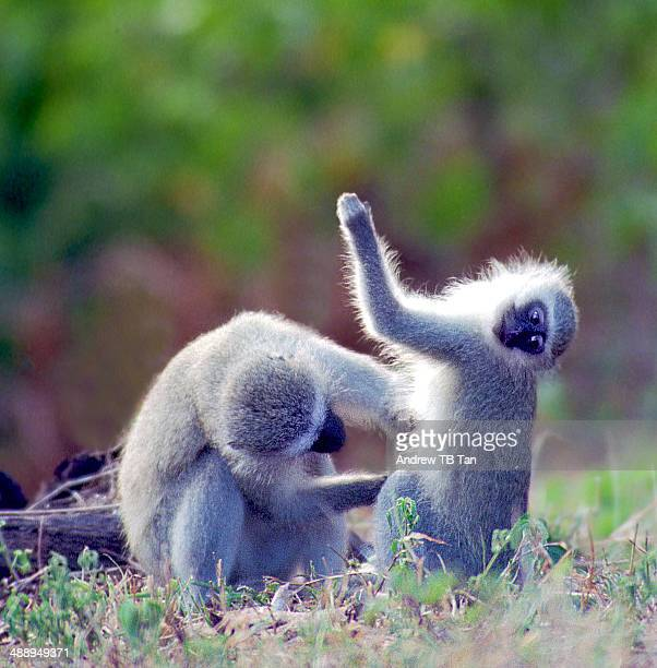 A monkey grooming another
