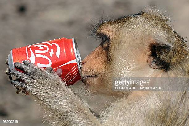 A monkey has a drink from a can at an ancient temple in Lopburi province some 150 kms north of Bangkok on November 29 2009 during the annual 'monkey...