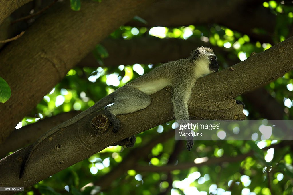 A monkey has a rest during the Pro-Am for the Volvo Golf Champions at Durban Country Club on January 9, 2013 in Durban, South Africa.