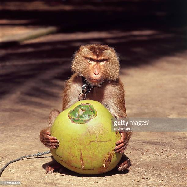 Monkey holding a fresh coconut.