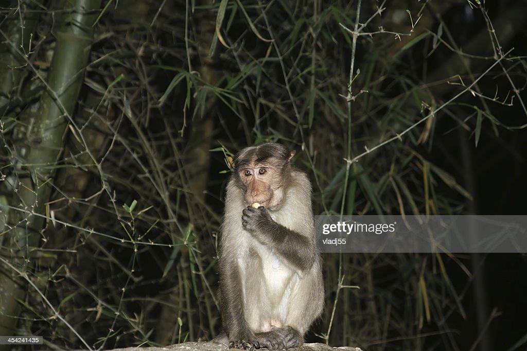 monkey (macaque) in a natural environment, South India, Kerala : Stock Photo