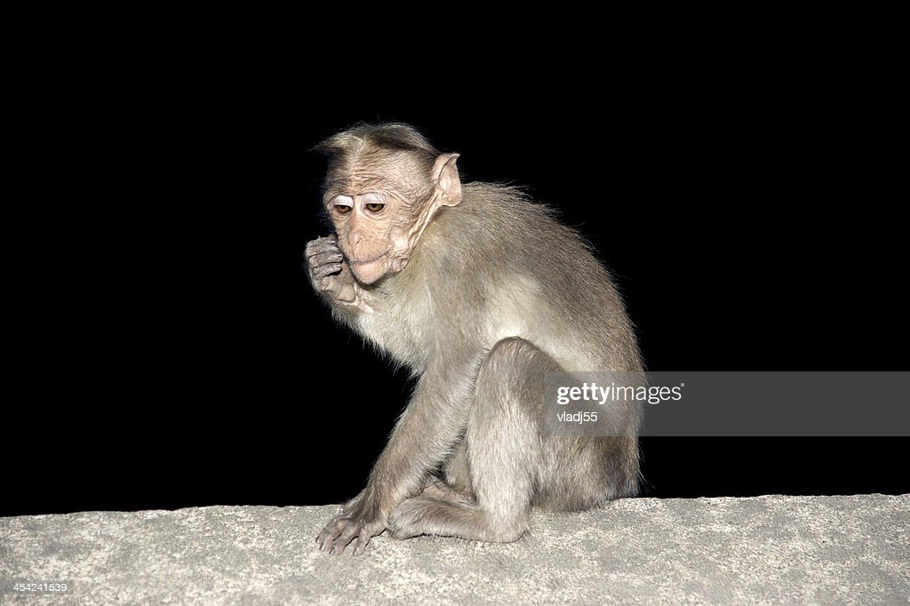 monkey (macaque) in a natural environment, South India, Kerala : Stock Photo