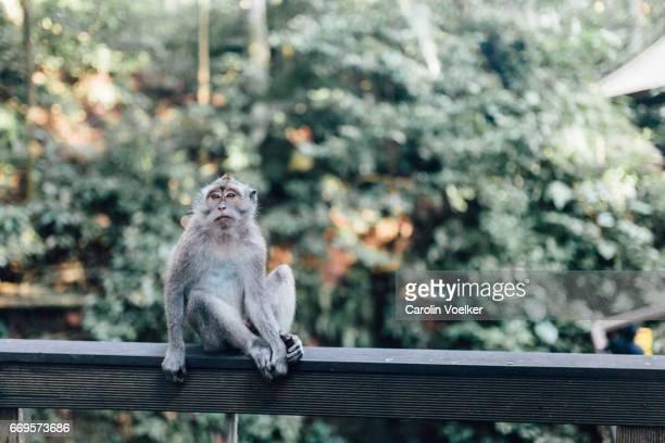 Monkey in Ubud monkey forest