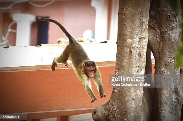 Monkey Jumping On Tree By Wall