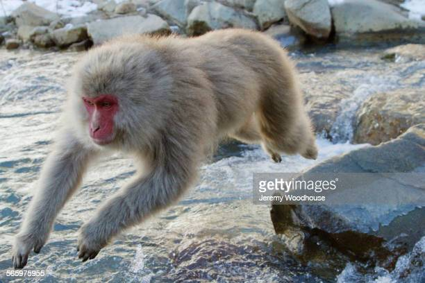 Monkey jumping over rocks in river