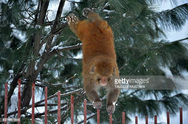 TOPSHOT A monkey jumps from a tree following a fresh snowfall in Tangmarg about 34 kms from Srinagar on January 18 2017 / AFP / TAUSEEF MUSTAFA