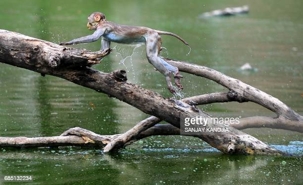 A monkey leaps along the branches of a tree in a pond on a hot day in Allahabad on May 19 2017 According to local reports temperatures have soared in...