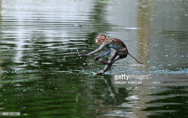 TOPSHOT A monkey leaps into a pond on a hot day in Allahabad on May 19 2017 According to local reports temperatures have soared in the northern...