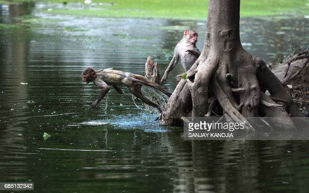 A monkey leaps into a pond on a hot day in Allahabad on May 19 2017 According to local reports temperatures have soared in the northern Indian city...