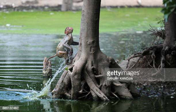A monkey leaps onto a tree from a pond on a hot day in Allahabad on May 19 2017 According to local reports temperatures have soared in the northern...