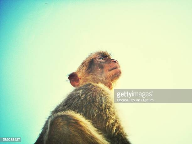 Monkey Looking Away Against Clear Sky