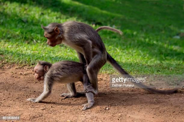 Two monkeys having sex well