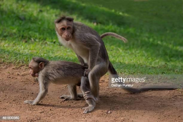 Consider, that Two monkeys having sex