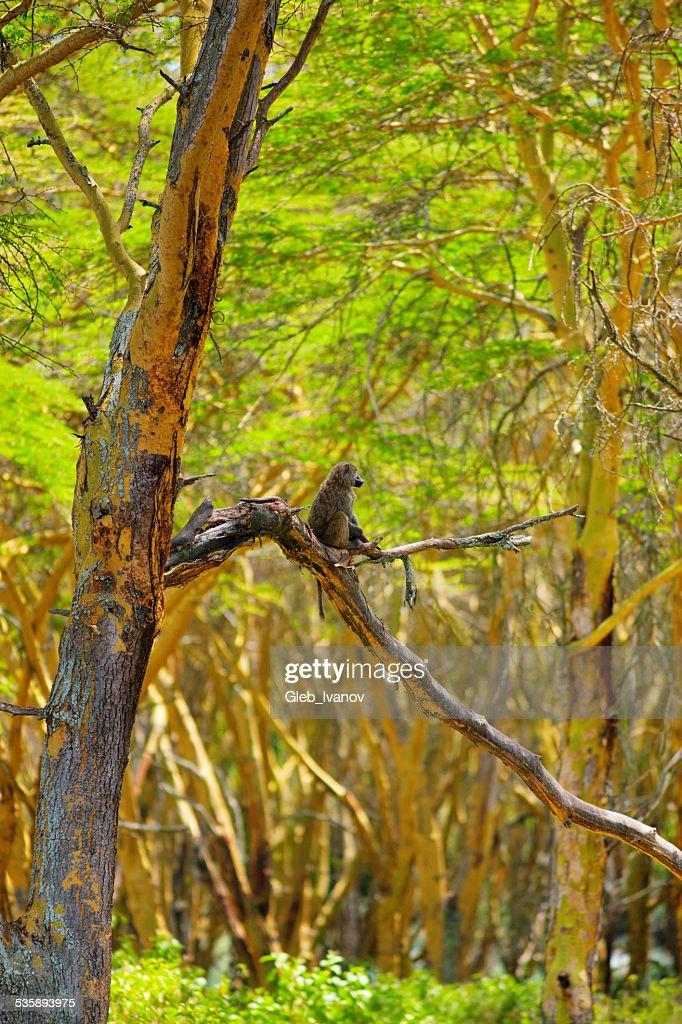 Scimmia : Foto stock