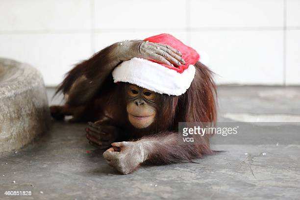 A monkey plays with a Santa hat as the Safari Park celebrates the upcoming Christmas Day with Christmas hats given by feeders in Hangzhou Safari Park...