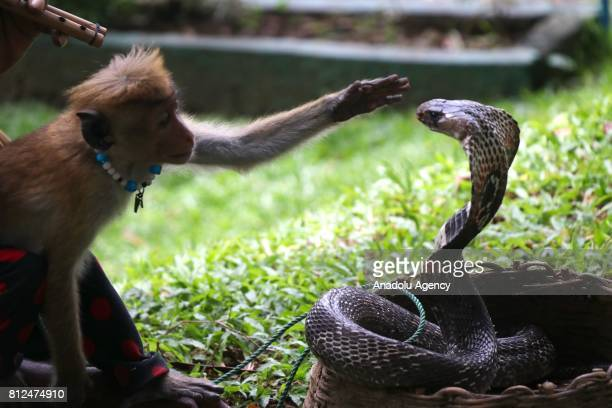 A monkey plays with giant snake in Colombo the capital of Sri Lanka on July 10 2017 An island country Sri Lanka is famous with its spice and tea...