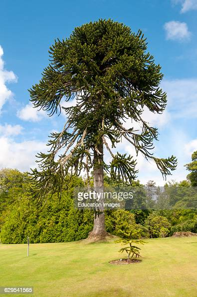 Monkey puzzle tree photos et images de collection getty for Garden trees scotland