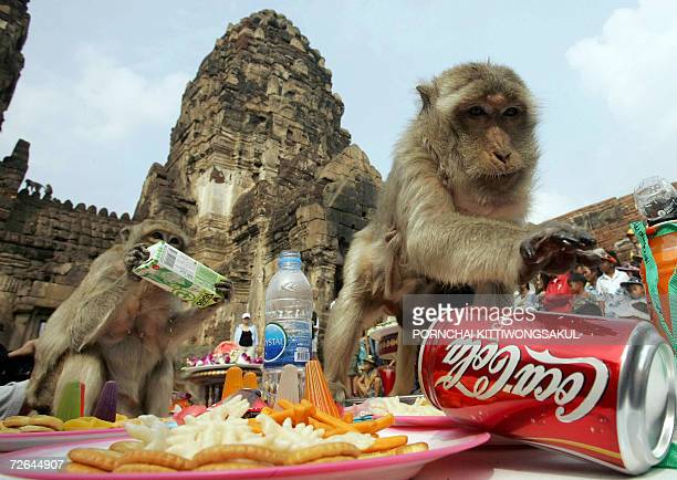 A monkey reaches for a can of coke during the annual monkey buffet festival next to an ancient temple in Lopburi province 26 November 2006 More than...