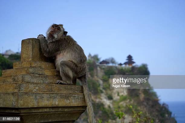 A Monkey sits on a wall at Uluwatu temple, Bali