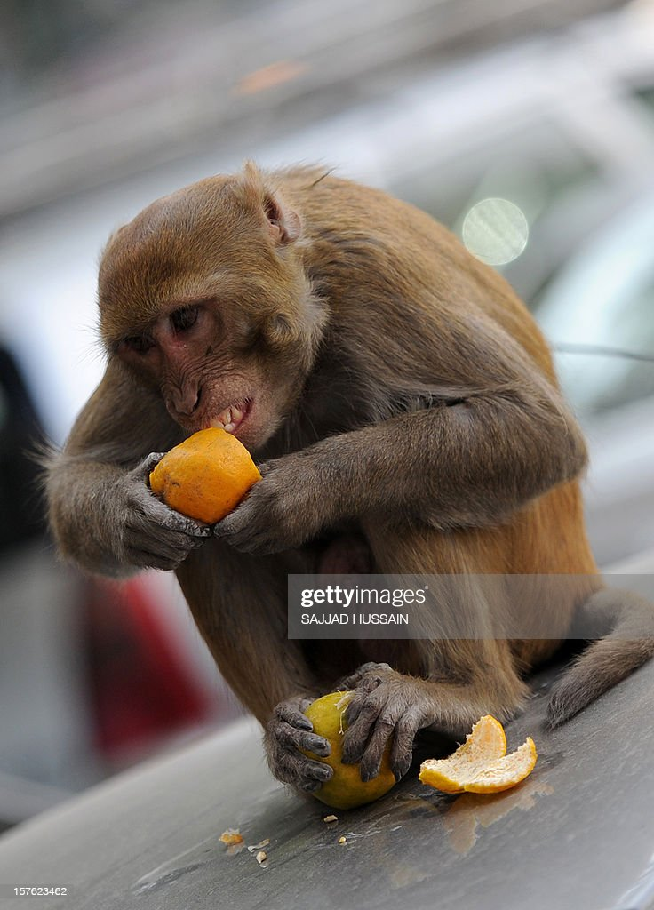A monkey sits on top of a car as it eats an orange snatched from a fruit vendor in New Delhi on December 5, 2012. Delhi's monkey population has grown large and aggressive but monkeys are the living representatives of the cherished Hindu god Hanuman, and Hindu tradition calls for feeding monkeys twice a week.