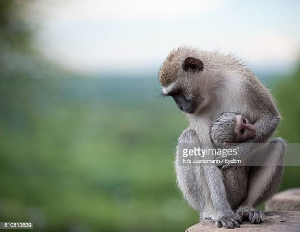 Monkey sitting on a rock holding baby