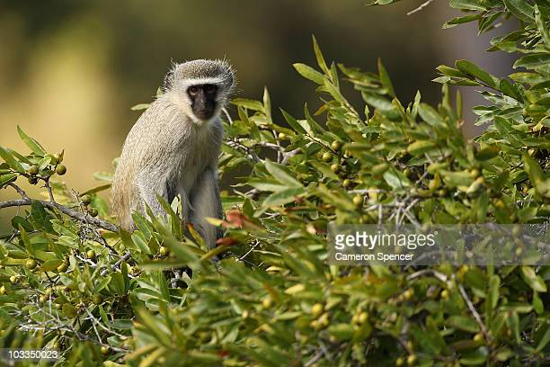 A monkey vervet sits in a tree on July 19 2010 in the Edeni Game Reserve South Africa Edeni is a 21000 acre wilderness area with an abundance of game...