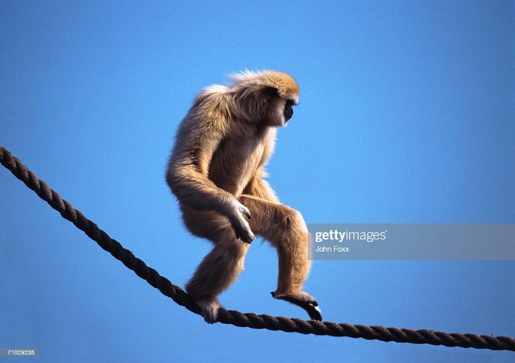 monkey walking on rope : Stock Photo
