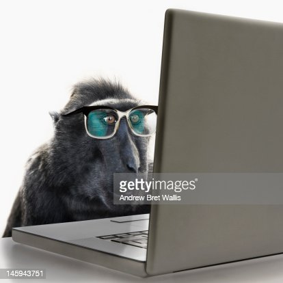 Monkey wearing spectacles using laptop computer : Stock Photo
