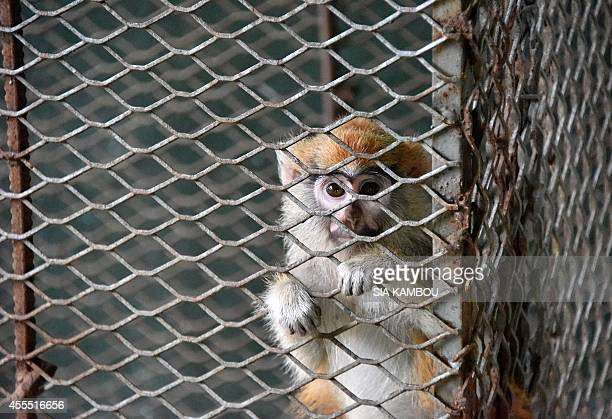 A monkey who was abandoned by its owner at the zoo in Abidjan is seen in a cage in the quarantine ward of the zoo on September 9 2014 Many people are...