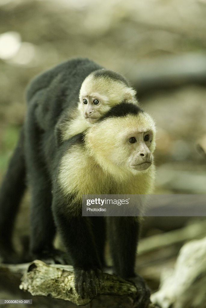 Monkey with baby on back in tree : Stock Photo