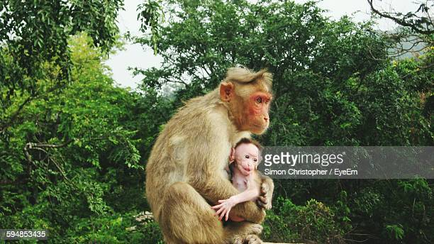 Monkey With Infant In Forest