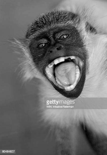 Monkey with open mouth, yelling, close-up (B&W)