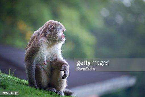 Monkey,Kathmandu, Nepal : Stock Photo