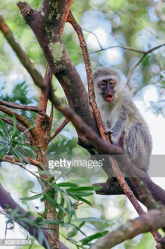 Monkeyland Knysna : Stock Photo