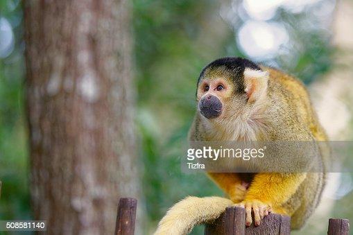 Monkeyland Knysna : Foto stock