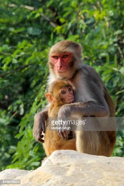 Monkeys at Asola Bhatti Wildlife Sanctuary, Asola, Delhi