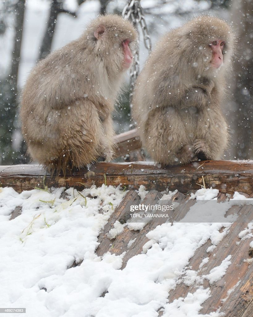 Monkeys endure the cold under snow at Ueno Zoo in Tokyo on February 14, 2014. Heavy winter weather is expected to hit Tokyo's metropolitan area again, bringing with it an estimated 10cm of snow. AFP PHOTO/Toru YAMANAKA