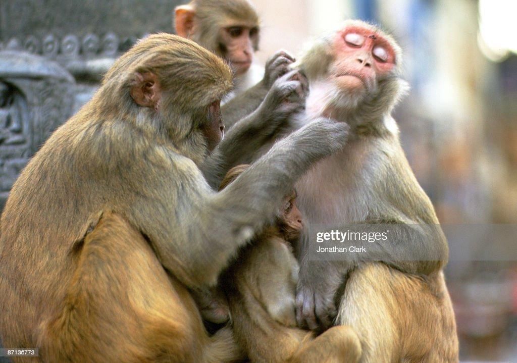 Monkeys Grooming : Stock Photo