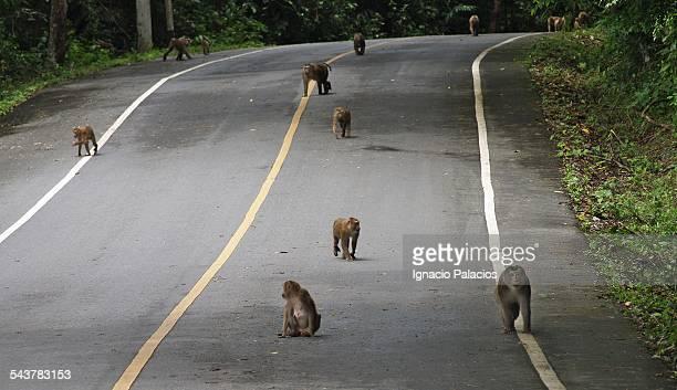 Monkeys in the streets in Khao Yai National Park