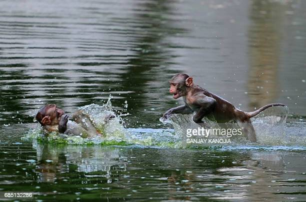 Monkeys leap into a pond on a hot day in Allahabad on May 19 2017 According to local reports temperatures have soared in the northern Indian city to...