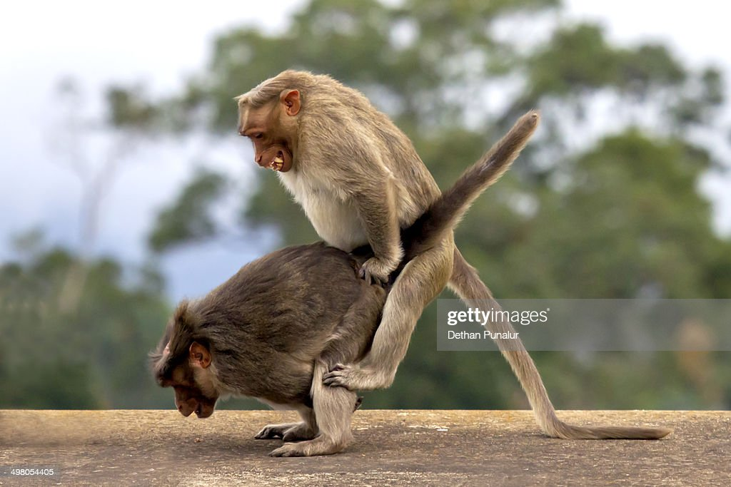 Image Gallery Mting Monkeys