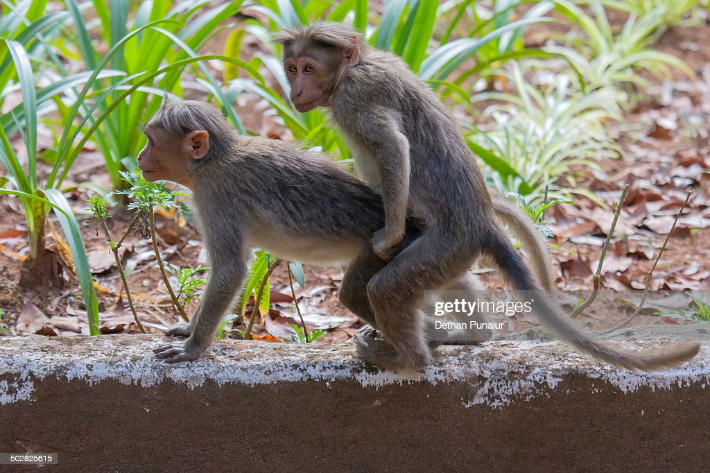 Humans mating with monkeys