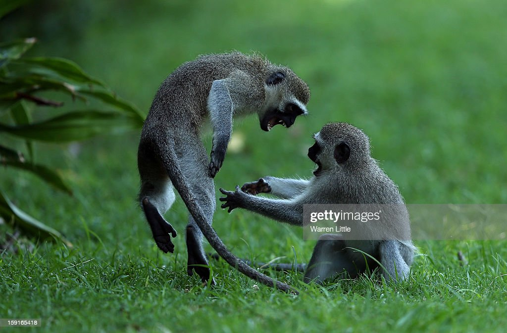 Monkeys play during the Pro-Am for the Volvo Golf Champions at Durban Country Club on January 9, 2013 in Durban, South Africa.