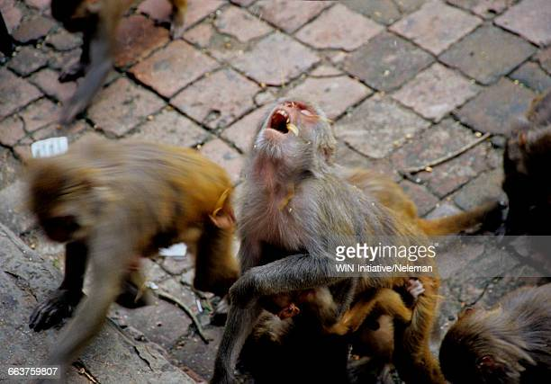 Monkeys searching for food
