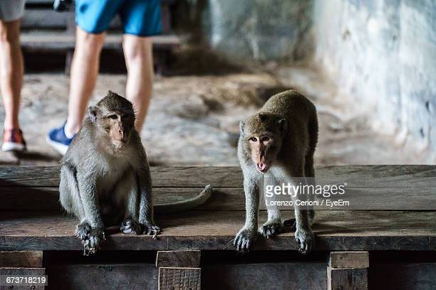 Monkeys Sitting On Wooden Seat